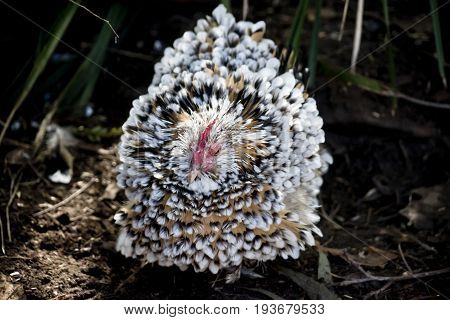 this is a close up of a Belgian d'Uccle chicken