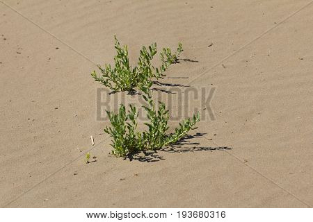 grass growing in the sand . A photo