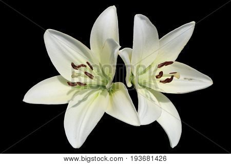 Asiatic hybrid lily 'Apollo' two white flowers isolated on black.