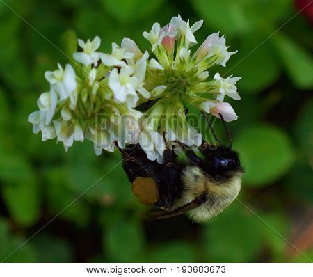 Bumble bee gathering pollen on a flower