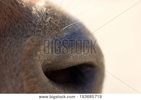 cow nose. macro An animal in a park on nature. A photo