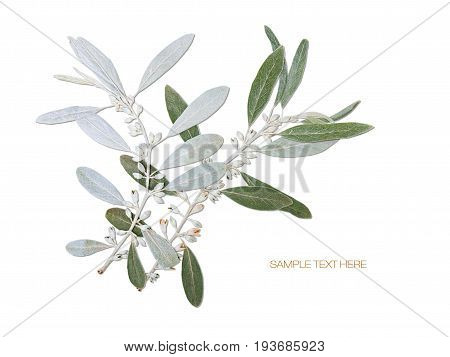 Pressed and dried flower olive branch isolated on white blue background. For use in scrapbooking floristry or herbarium.