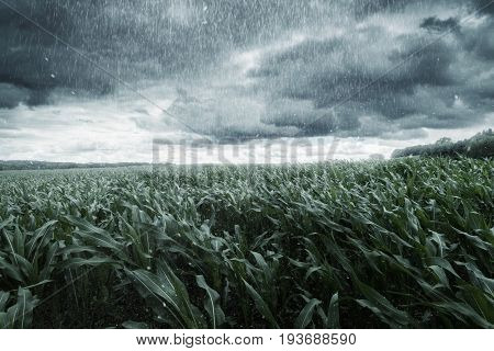 green maize field in front of dramatic clouds and rain