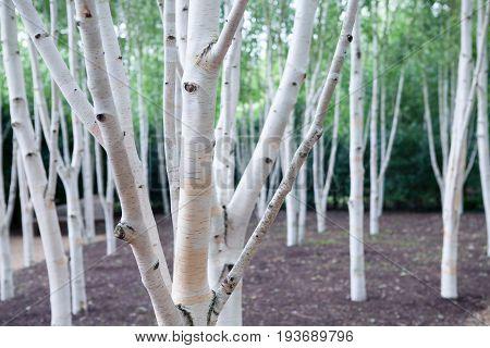 Silver birch trees (Betula pendula). White woodland. Magical forest.