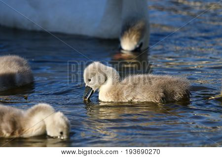 Mute swan cygnets feeding under the protection of their parent