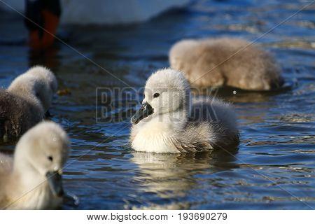 A Mute swan cygnet in bright blue water