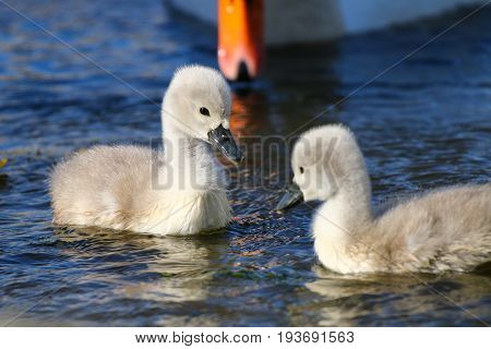 A pair of Mute Swan cygnets with their parent's beak visible in the background