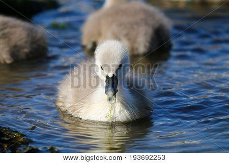A tiny mute swan cygnet chewing on vegetation in it's beak