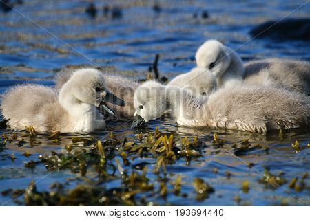 A family of mute swan cygnets feeding on floating weed