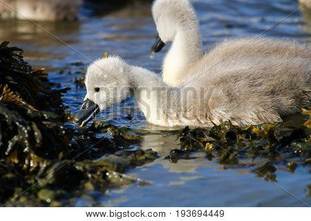 A pair of mute swan cygnets feeding on vegetation