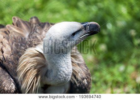 Griffon Vulture (gyps Fulvus) Looks Around