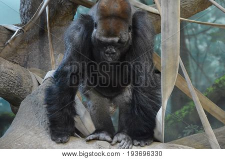 An adult male gorilla resting on the ropes