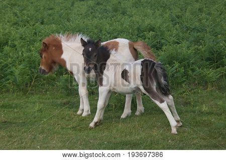 Two little dartmoor pony foals at the Dartmoor National Park. Devon, UK.