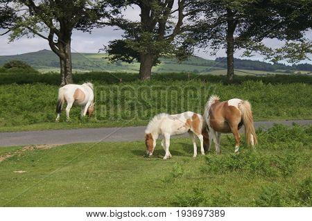 A herd of Dartmoor ponies grazing by the roadside in the Dartmoor National Park, Devon, UK