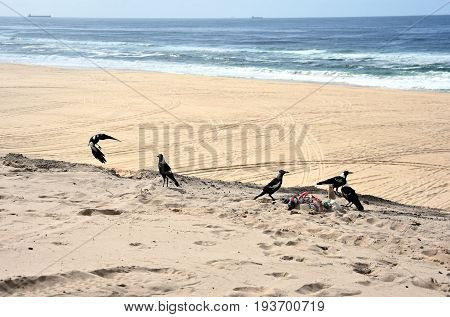 Crows dig the rubbish and waste on the sand dune at Belmont beach (NSW Australia)