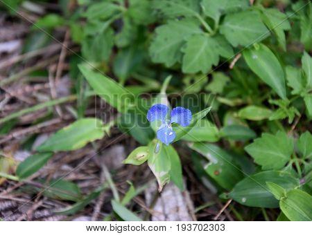 Flowers violets. Wood violets flowers close up. viola odorata. Closeup purple flowers. Sweet Common Garden Violet Viola odorata blooming in spring in wild meadow.