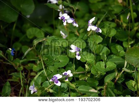Flowers violets. Wood violets flowers close up. viola odorata. Closeup purple flowers. Sweet Common Garden Violet Viola odorata blooming in spring in wild meadow.