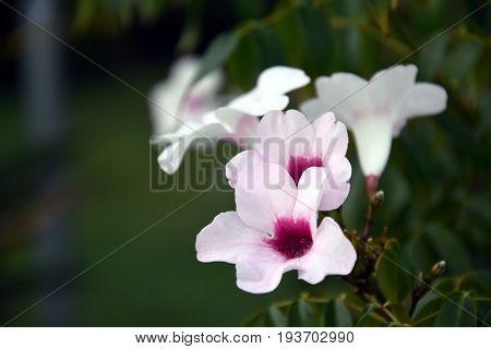 White petunia flowers closeup in the garden.