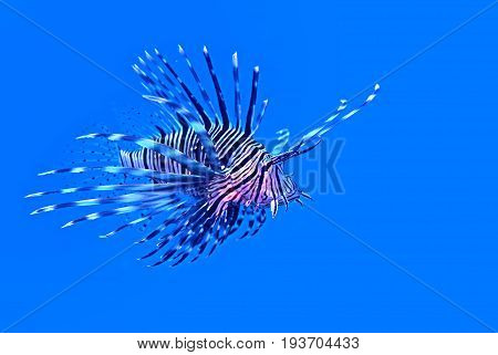 Lionfish in blue water with copy space ichthyology concept