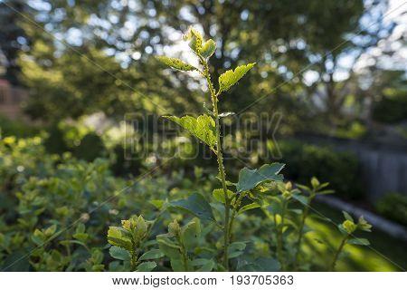 Close Up Shot of Aphids on a Spirea Bush
