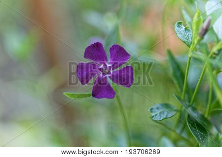 Flower of a lesser periwinkle (Vinca minor)