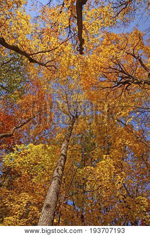 Looking up into the Fall Forest in Busse Woods Preserve in Illinois
