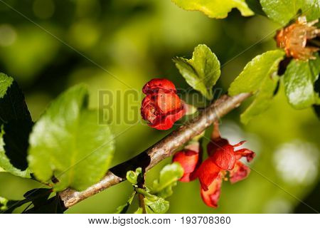 Flower of a Maules quince (Chaenomeles japonica)