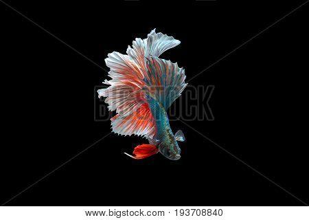Beta Fighting Fish ,Siamese fighting fish on black