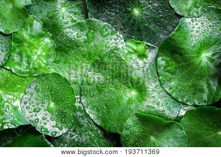 Close up circle green leaf decoration with water rain drop as abstract green background from Centella asiatica fresh herb plant background