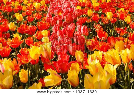 an expanse of coloured tulips illuminated by the sun /  the blossoming of tulips in a park