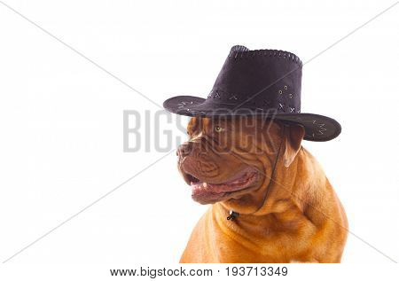 Dogue de Bordeaux with cowboy hat isolated on a white background