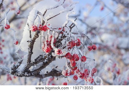 Branch of rowan with red berries covered with hoarfrost