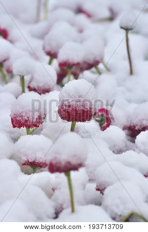 Snowy red dog daisy (Bellis perennis) in springtime. Lawn daisy in abnormal bad weather.