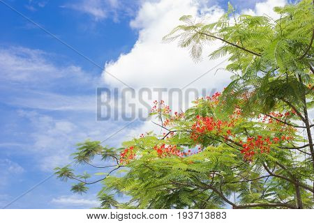 Flamboyant flower trees and blue sky background.