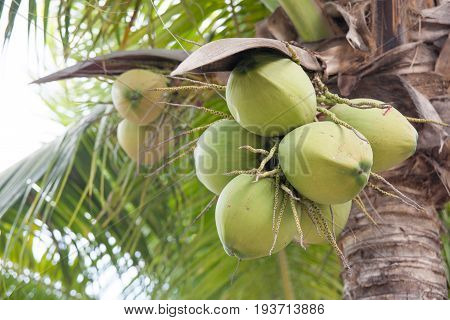 Closer of green fresh coconut cluster on Tree