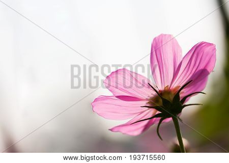 The pink flower and sky background for text