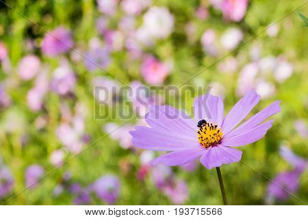 Pink cosmos flower and bee and garden