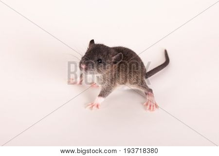 portrait of very small curious baby rat