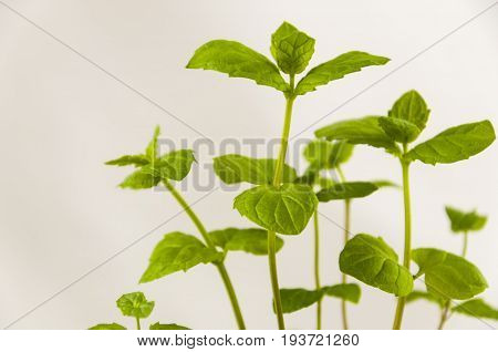 Small sprouts of spicy mint grass on a light background
