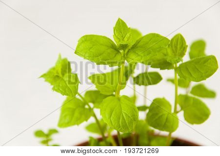 Small sprouts of spicy mint grass on a light background in a pot