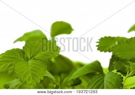 Close-up green leaves of strawberries on white background