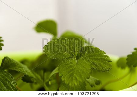 Close-up green leaves of strawberry berries with drops of water in a pot on a light background