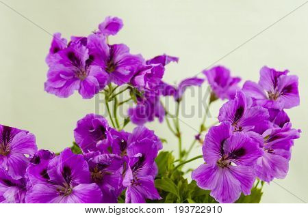 A lushly flowering geranium flower of pink color in a pot on a light background