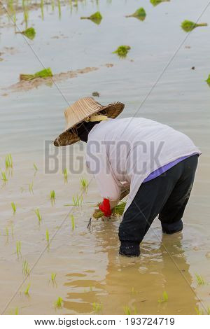 back of asian female farmer with Thai traditional hat working paddy cultivation in the rice field in the middle of the photo