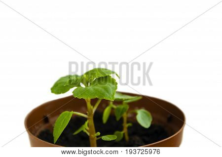 Two small sprouts of a Woller balsam plant in a brown pot on a white background
