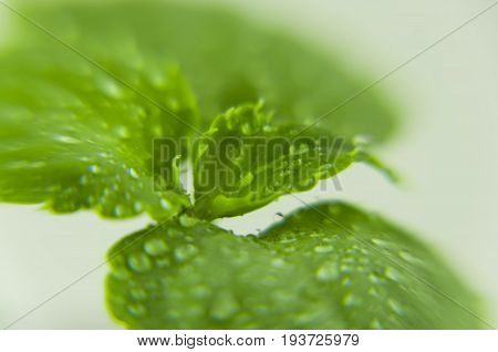 A close-up of a green rosette of Völler's balsam leaves with small drops of water