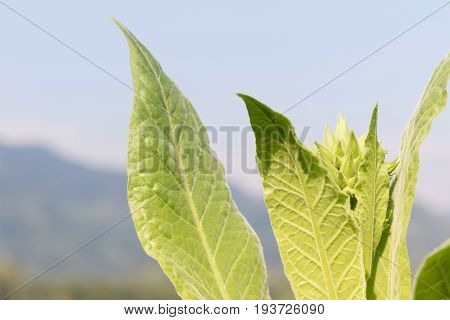 Nicotiana Tabacum  Herbaceous Plant