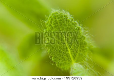 Close-up of a fluffy leaf of sage on a blurred green background