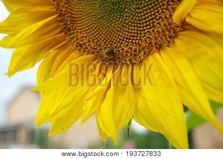 close up of bee Collects nectar on sunflower sumer sunny day