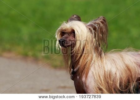 Portrait of amazing Chinese Crested Dog in summer